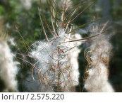 Пушистый цветок. Стоковое фото, фотограф Еременко Наталья / Фотобанк Лори