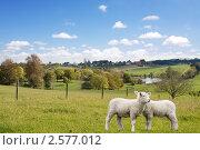 Купить «Два ягненка  пасутся на зеленой лужайке», фото № 2577012, снято 17 мая 2010 г. (c) NataMint / Фотобанк Лори