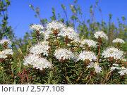 Купить «Цветение багульника болотного (Ledum palustre L.), крупный план», эксклюзивное фото № 2577108, снято 5 июня 2011 г. (c) Григорий Писоцкий / Фотобанк Лори