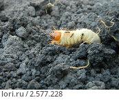 Личинка майского жука и муравьи. Стоковое фото, фотограф Алексей Мещеряков / Фотобанк Лори