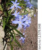 Купить «Хионодокса (Chionodoxa), растущая среди камней», фото № 2578048, снято 20 апреля 2011 г. (c) Заноза-Ру / Фотобанк Лори