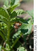 Колорадские жуки на картофельной ботве. Стоковое фото, фотограф Екатерина Жукова / Фотобанк Лори
