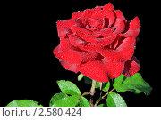 Красная роза на черном фоне. Стоковое фото, фотограф Сергей Слабенко / Фотобанк Лори