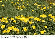 Одуванчики на газоне. Стоковое фото, фотограф Елена Мумрина / Фотобанк Лори