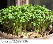 Купить «Кресс-салат, клоповник посевной (Lepidium sativum), семейства крестоцветных», фото № 2589936, снято 23 мая 2011 г. (c) Заноза-Ру / Фотобанк Лори