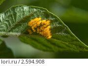 Кладка личинок колорадского жука. Стоковое фото, фотограф Екатерина Жукова / Фотобанк Лори