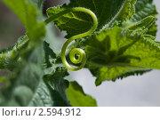 Завиток огуречного усика. Стоковое фото, фотограф Екатерина Жукова / Фотобанк Лори