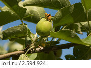 Незрелое яблоко на ветке. Стоковое фото, фотограф Екатерина Жукова / Фотобанк Лори