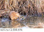 Купить «Завтрак ондатры», эксклюзивное фото № 2594976, снято 1 мая 2011 г. (c) Владимир Чинин / Фотобанк Лори