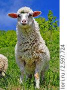 Овца. Стоковое фото, фотограф Швадчак Василий / Фотобанк Лори
