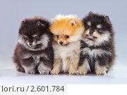 Купить «Три щенка померанского шпица», фото № 2601784, снято 15 июня 2011 г. (c) Сергей Лаврентьев / Фотобанк Лори