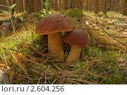 Белые грибы. Стоковое фото, фотограф Медведев Михаил / Фотобанк Лори