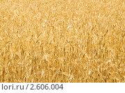 Купить «Фон из пшеницы», фото № 2606004, снято 27 июня 2008 г. (c) Elnur / Фотобанк Лори
