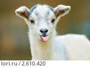 Купить «Забавный козел (козлик), показывающий язык», фото № 2610420, снято 3 апреля 2011 г. (c) Maximilian Pogonii / Фотобанк Лори