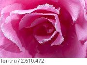 Купить «Цветок олеандра крупным планом», фото № 2610472, снято 18 ноября 2018 г. (c) Сергей Чистяков / Фотобанк Лори