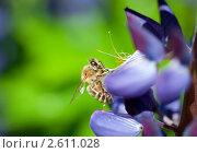 Пчела медоносная на синем цветке, эксклюзивное фото № 2611028, снято 12 июня 2011 г. (c) Константин Косов / Фотобанк Лори