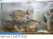 Купить «Живая рыба в аквариуме на рынке», эксклюзивное фото № 2611512, снято 11 декабря 2010 г. (c) Дмитрий Нейман / Фотобанк Лори