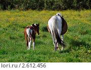 Купить «Хвост жеребенка и лошади», фото № 2612456, снято 20 июня 2011 г. (c) Татьяна Кахилл / Фотобанк Лори