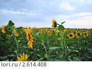 Поле подсолнухов. Стоковое фото, фотограф Дмитрий Петров / Фотобанк Лори