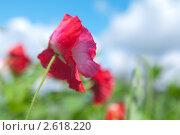 Красный мак. Стоковое фото, фотограф Олег Кириллов / Фотобанк Лори