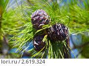 Купить «Молодые шишки кедра крупным планом», фото № 2619324, снято 25 июня 2011 г. (c) Икан Леонид / Фотобанк Лори