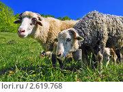 Купить «Бараны на летнем пастбище», фото № 2619768, снято 26 мая 2011 г. (c) Швадчак Василий / Фотобанк Лори