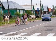 Купить «Коровы гуляют по проезжей дороге и мешают движению транспорта», эксклюзивное фото № 2622040, снято 19 июня 2011 г. (c) Макарова Елена / Фотобанк Лори