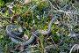 Гадюка ползет по болоту, фото № 2625156, снято 3 июня 2011 г. (c) Икан Леонид / Фотобанк Лори