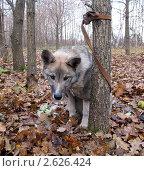 Грустная собака привязанная к дереву в осеннем лесу. Стоковое фото, фотограф Геннадий чупругин / Фотобанк Лори