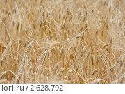 Купить «Колосья ржи», фото № 2628792, снято 28 июня 2011 г. (c) Алексей Букреев / Фотобанк Лори