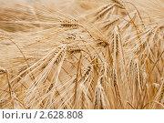 Купить «Колосья ржи», фото № 2628808, снято 28 июня 2011 г. (c) Алексей Букреев / Фотобанк Лори