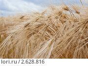 Купить «Колосья ржи», фото № 2628816, снято 28 июня 2011 г. (c) Алексей Букреев / Фотобанк Лори