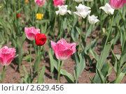 Красивые тюльпаны. Стоковое фото, фотограф Иван Козлов / Фотобанк Лори