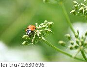Купить «Семиточечная божья коровка (Coccinella septempunctata)», фото № 2630696, снято 25 июня 2011 г. (c) Щеголева Ольга / Фотобанк Лори