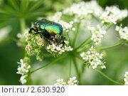 Купить «Зеленый блестящий жук поедает мелкие белые цветки зонтичного растения (Золотистая бронзовка, Cetonia aurata)», эксклюзивное фото № 2630920, снято 25 июня 2011 г. (c) Щеголева Ольга / Фотобанк Лори