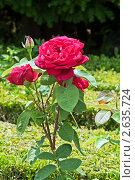 Розы. Стоковое фото, фотограф Vasilii Olii / Фотобанк Лори