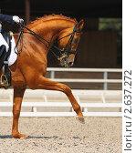 Купить «Выездка: портрет рыжей лошади», фото № 2637272, снято 1 июля 2011 г. (c) Абрамова Ксения / Фотобанк Лори