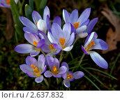 Голубые весенние крокусы. Стоковое фото, фотограф Маргарита Бородина / Фотобанк Лори