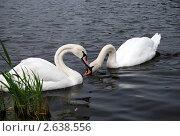 Лебеди. Стоковое фото, фотограф Анжелика Сеннова / Фотобанк Лори