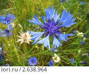 Василёк (Centaurea cyanus) Стоковое фото, фотограф Сметанова Наталия / Фотобанк Лори