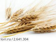 Купить «Колосья ячменя», фото № 2641304, снято 28 июня 2010 г. (c) Величко Микола / Фотобанк Лори