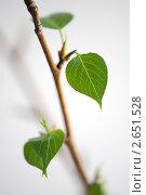Веточка тополя с весенними листьями. Стоковое фото, фотограф Екатерина Балашова / Фотобанк Лори