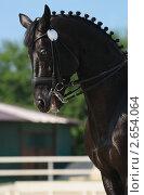 Купить «Конный спорт (выездка) - портрет вороной лошади», фото № 2654064, снято 1 июля 2011 г. (c) Абрамова Ксения / Фотобанк Лори