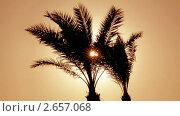 Купить «Пальмы в контровом свете», видеоролик № 2657068, снято 13 декабря 2010 г. (c) Михаил Коханчиков / Фотобанк Лори