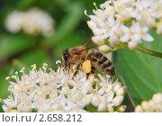 Купить «Сбор нектара пчелой с цветка дёрена белого (Сornus alba)», эксклюзивное фото № 2658212, снято 7 июня 2009 г. (c) Алёшина Оксана / Фотобанк Лори