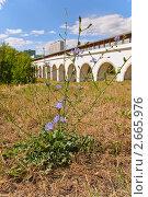 Купить «Цветущий цикорий обыкновенный (Cichorium intybus) на фоне Ростокинского акведука», эксклюзивное фото № 2665976, снято 21 августа 2010 г. (c) Алёшина Оксана / Фотобанк Лори