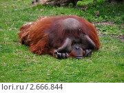 Орангутанг грустит. Стоковое фото, фотограф Elena Strigoun / Фотобанк Лори