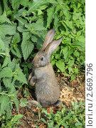 Купить «Крольчонок стоит на задних лапках», эксклюзивное фото № 2669796, снято 26 июня 2011 г. (c) Александра М. / Фотобанк Лори