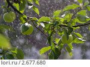 Яблоки под дождем. Стоковое фото, фотограф Екатерина Жукова / Фотобанк Лори