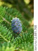 Голубая шишка пихты. Стоковое фото, фотограф Александр Герасименко / Фотобанк Лори